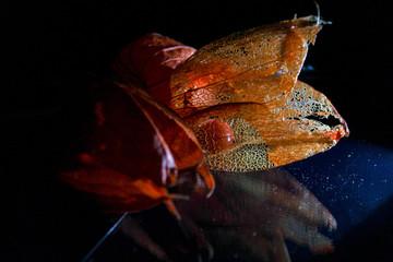 lampionblume physalis durchleuchtet