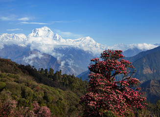 Blooming rhododendron tree on the background of snowy peaks of the Himalayas