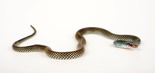 Perlnatter (Drymobius margaritiferus) - speckled racer