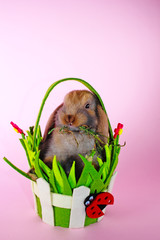 Cute little young bunny rabbit lop eared dwarf rabbits
