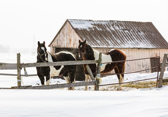 Horses outside in a snowy winter scene in rural Quebec, Canada.