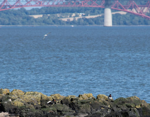 Oystercatchers on the Forth