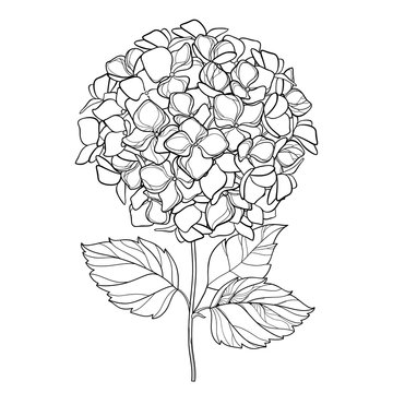 Vector drawing of outline Hydrangea or Hortensia flower bunch and ornate leaves in black isolated on white background. Contour ornamental garden plant Hydrangea for summer design and coloring book.