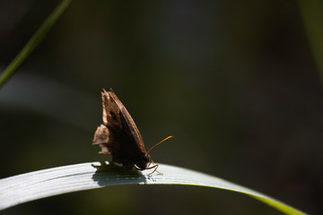Bush Brown Butterfly (bicyclus contrelli f. harti) On Brightly Sun-lit Leaf Blade, Limpopo, South Africa