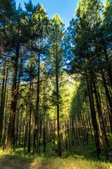 Pines Tree Forest in Sankri, Uttarakhand, India