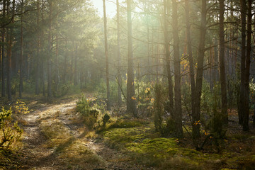 Wall Murals Forest sandy road in a pine forest in the autumn morning