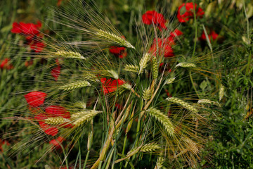 View of golden wheat field with papaver flowers. Summer countryside landscape
