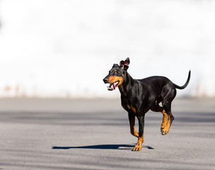 Manchester terrier playing in mid winter, Quebec, Canada.