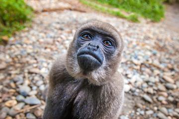 Amazon. A monkey. Ecuador. Animals of Ecuador. Wild monkey in the forests of the Amazon.