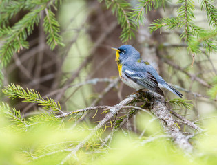 Northern parula perched in a boreal forest Quebec, Canada.