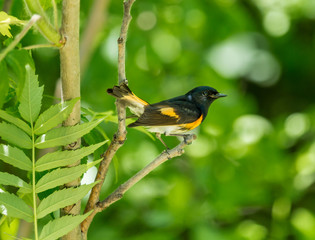 American Redstart, deep in a boreal forest Quebec, Canada.