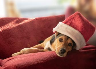 Niedlicher Mischlingshund mit Weihnachtsmütze. Mischling: Griechischer Jagdhund und Schäferhund