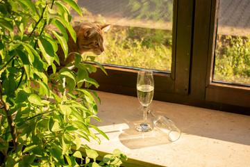 hübsche getigerte Hauskatze schaut neugierig, hinter Blättern hervor, nach Sektgläsern die auf der Fensterbank stehen.