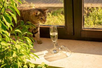 hübsche getigerte Hauskatze schaut neugierig nach Sektgläsern die in der Sonne auf der Fensterbank stehen.