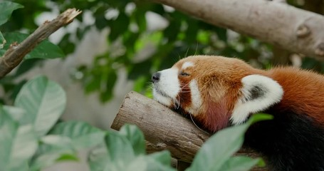 Wall Mural - Red panda sleep on the tree