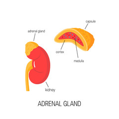 Kidney and cross section of adrenal gland in flat style