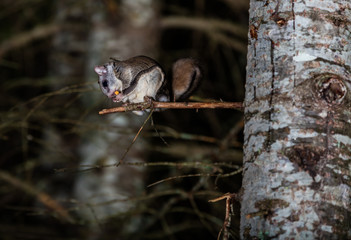 Northern flying squirrel also called Polatouche in French, taken in cottage country north Quebec.