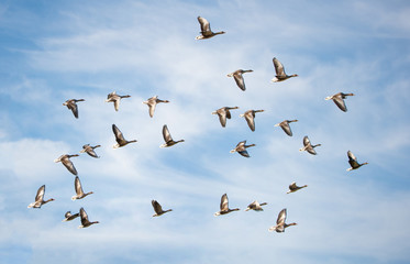 flock of greylag geese flying in the cloudy sky - bird migration in the national park Neusiedlersee Seewinkel Burgenland Austria