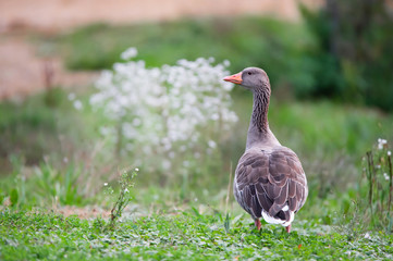 observant greylag goose standing in the grass in autumn