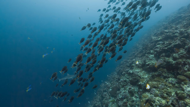 Spawning aggregation of Orange-spine Surgeonfish
