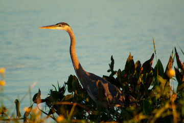 great blue heron in water