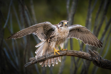 Prairie Falcon prepares for take off from branch with spread wings Fotomurales