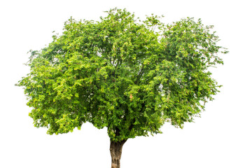 The tree is completely separated from the white ba background Scientific name Tamarindus indica L.