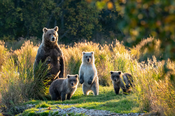 Large adult female Alaskan brown bear with three cute cubs standing on a grassy spit of land in the Brooks River, Katmai National Park, Alaska, USA  Wall mural