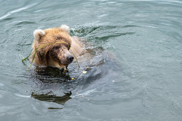 Funny young sub-adult Alaskan brown bear swimming in Brooks River with grass wrapped around face, Katmai National Park, Alaska, USA