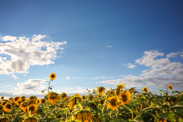 One sunflower rising above the rest.