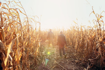 Father and son walking in dried corn stalks in a corn maze