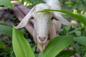 White goat in summer garden. Cute fluffy animal photo. Farm animal portrait. Curious goat looking into camera