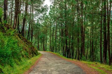 Road in Pine Tree Forest in Bach Kande, Lamgarha, Almora, Uttarakhand
