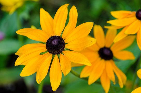 Closeup of yellow Black Eyed Susan in full bloom in VanDusen Botanical Gardens in Vancouver, BC, Canada