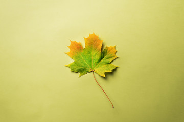Maple leaf on green background with copy space. Golden autumn concept. Sunny day, warm weather. Top view. Colors of fall