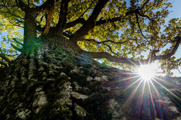 old giant oak and sunlight shining through