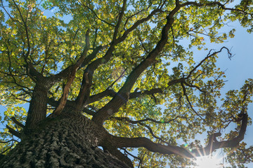 Wall Mural - old giant oak and sunlight shining through