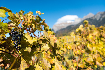 Wall Mural - golden grapevines with ripe blue pinot noir grapes late picked for ice wine in the Maienfeld region of Switzerland
