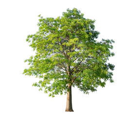 Tree isolated on white background. It is grown in ornamental tree in the garden or park.