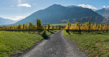Wall Mural - golden vineyards and grapevines in the mountain landscape of the Maienfeld region in Switzerland with a gravel road