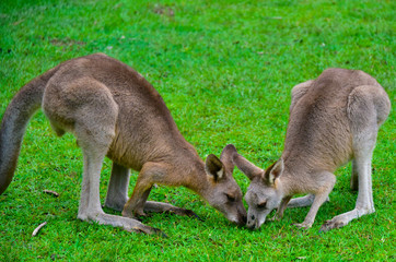 Kangaroos around the field
