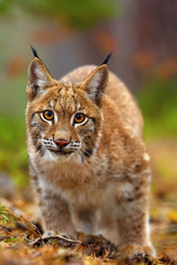 The Eurasian lynx (Lynx lynx), portait. Subadult cat portait.Cat ready to attack.