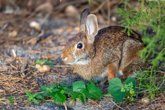 Wild Rabbit Resting in a Shady Spot Outside