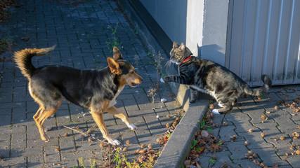 Schäferhund-Mix und Hauskatze beim gemeinsamen spielen