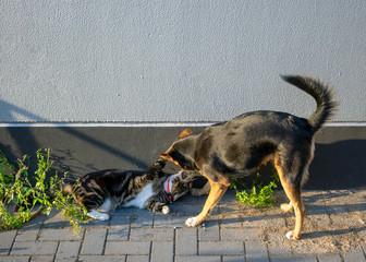 Schäferhund-Mix und Hauskatze in freundschaftlichen Spiel