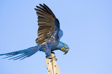 Hyacinth macaw Fotomurales