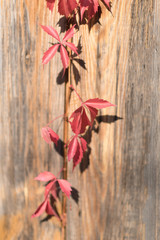 Colorful Autumn Virginia Creeper, Wild Grape Background. Abstract Purple, Red and Orange Autumn Leaves on the wooden Background.
