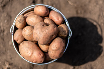 Potatoes in metal bucket at the vegetable garden