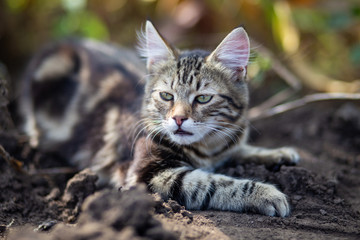 Domestic cat resting outdoor