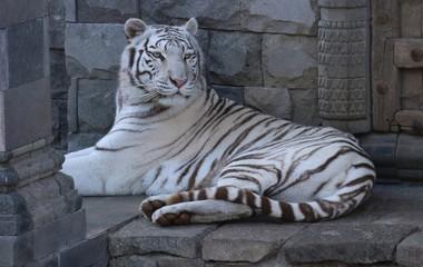 tigre -blanc